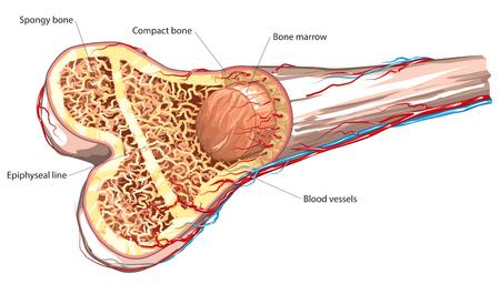 bone detail